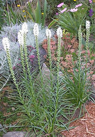 These Spiky Plants Come In Pink Purple And White The Flowers Open From Top Down You Can Find Them For If Wait