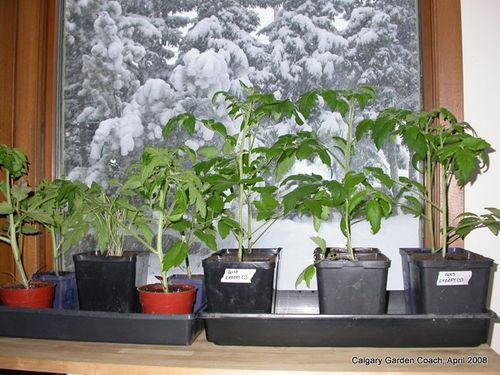 Tomatoes snow